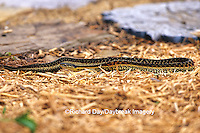 02892-00114 Common Garter Snake (Thamnophis sirtalis) eating toad Marion Co. IL