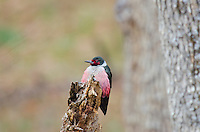 Lewis's Woodpecker (Melanerpes lewis).  Early spring in Pacific Northwest.