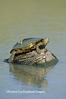 02536-00119 Red-eared Slider (Trachemys scripta elegans) on log Starr Co. TX