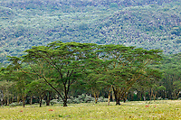 Acasia woodland, Lake Nakuru National Park, Kenya, Africa
