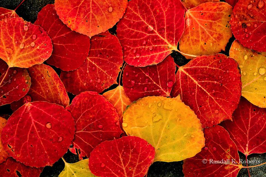 Red and yellow aspen leaves, Elk Mountains, Colorado