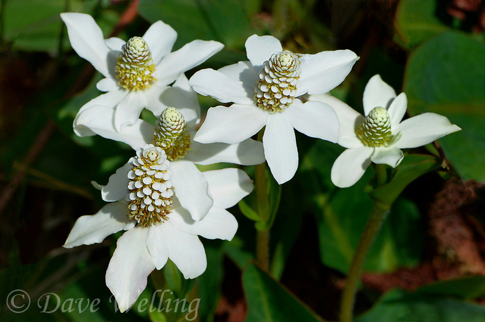 199600002 yerba mansa wildflower anemopsis californica growing wild in mono county california