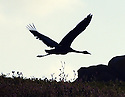 THE ISLES OF SCILLY SEABIRD RECOVERY PROJECT. A COMMON CRANE ON THE ISLAND OF ANNET.<br /> 17/06/2015. PHOTOGRAPHER CLARE KENDALL.