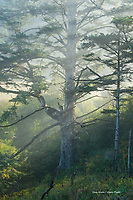 Sitka Spruce tree in morning fog, Oregon coast