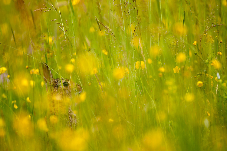 Common or European rabbit, Oryctolagus cuniculus, in traditional hay meadow surrounded by grasses and buttercups, Ranunculus sp. Clattinger Farm, Wiltshire. UK. This habitat has been reduced by 98% in the UK since the Second World War. This is largely due to the intensification of farming practices.