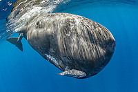 Close encounter with a calf sperm whale, Physeter macrocephalus, The sperm whale is the largest of the toothed whales Sperm whales are known to dive as deep as 1,000 meters in search of squid to eat Image has been shot in Dominica, Caribbean Sea, Atlantic Ocean Photo taken under permit #RP 16-02/32 FIS-5