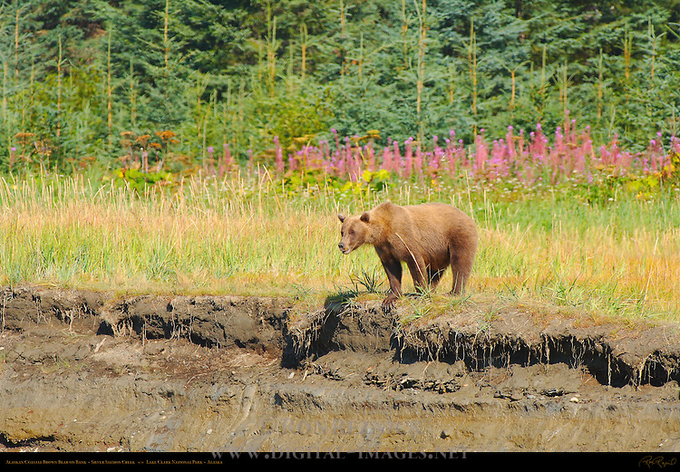 Alaskan Coastal Brown Bear on Bank, Silver Salmon Creek, Lake Clark National Park, Alaska