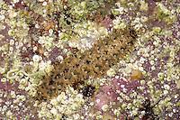 Lepidonotus clava