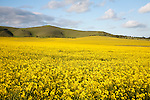 Yellow oil seed rape crop flowering with chalk scarp slope at Alton Barnes, Wiltshire, England