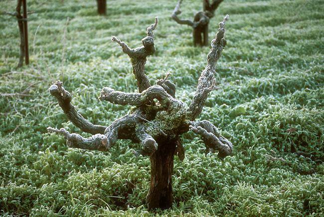 Old style head-pruned vine