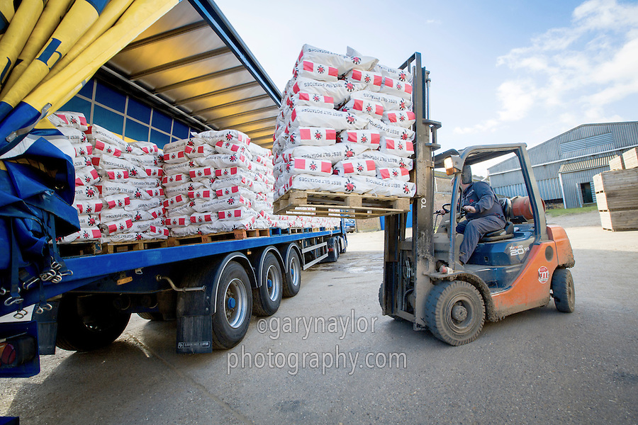 Loading lorry with bagged potatoes - Lincolnshire, February