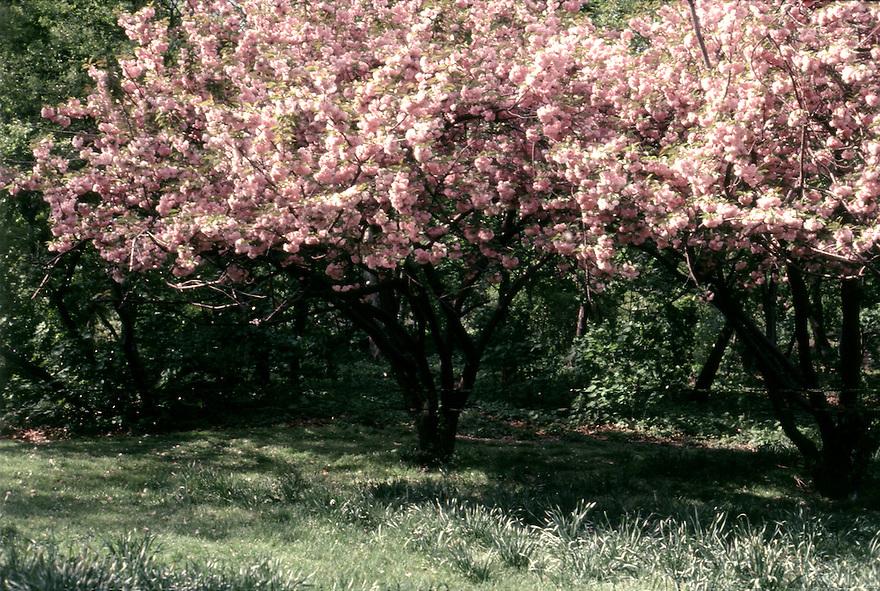 Pink Blossums