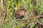 Virginia rail preening