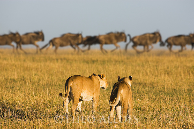 Female lions approaching wildebeest (Connochaetes taurinus) herd