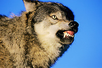 Gray Wolf (Canis lupus) snarling.