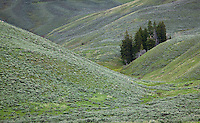 A small group of trees in the Lamar valley, Yellowstone National Park
