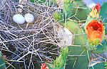 Morning Dove Nest on Desert Prickly Pear Cactus, Casa Grande, Arizona