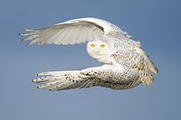 A Snowy Owl lifts her body nearly straight up off driftwood and into the air after spotting prey in the distance. Snowy Owls use stong wingbeats to hunt even in the most powerful winds.
