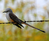 Adult female scissor-tailed flycatcher watches from barbed wire fence