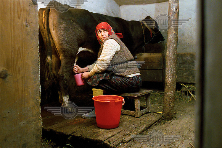 Elena Stefan milks the family's only cow in a barn at 5.30 in the morning.  The family lives and works from subsistence farming and occasionally produces enough milk to sell...