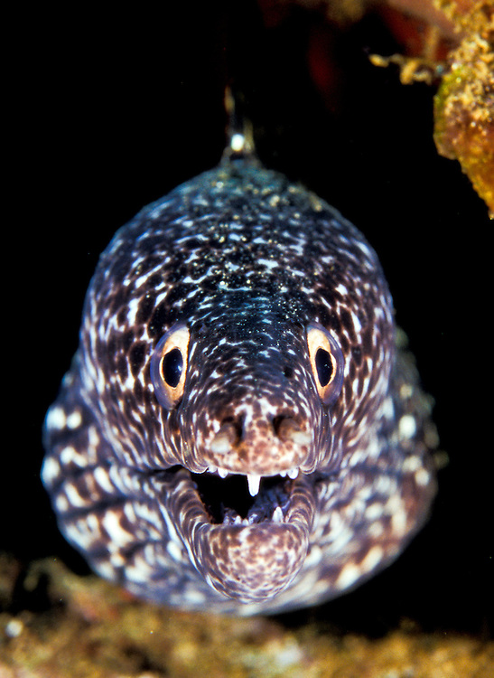 Head on view of a spotted moray (Gymnothorax moringa)