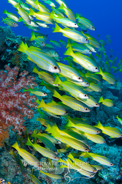 School of Bigeye snappers, Lutjanus lutjnus, Raja Ampat, West Papua, Indonesia, Pacific Ocean