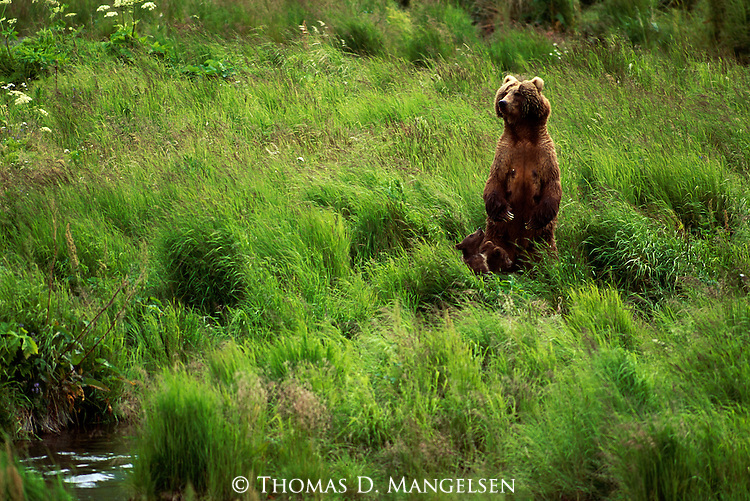 2428  Movement on the Horizon - Alaskan Brown Bear (Ursus arctos) Alaska Peninsula, AK..Print 2428