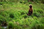 2428  Movement on the Horizon - Alaskan Brown Bear (Ursus arctos) Alaska Peninsula, AK..Print 2428