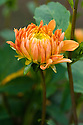 Dahlia 'Goldener Reiter', mid August.