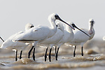 Critically endangered Black-faced Spoonbills (Platalea minor). Incheon, South Korea. October.