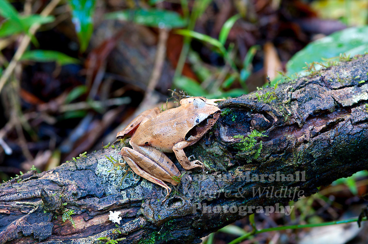 Aglyptodactylus securifer is a species of frog in the Mantellidae family. It is endemic to Madagascar. Its natural habitats are subtropical or tropical dry forests, subtropical or tropical moist lowland forests, intermittent rivers, swamps, freshwater marshes, and intermittent freshwater marshes. It is threatened by habitat loss .Amber Mountain National Park - Northern Madagascar.