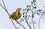 Western Meadowlark.Sturnella neglecta.at Lake Balboa Los Angeles, Ca. February 1, 2008. Fitzroy Barrett
