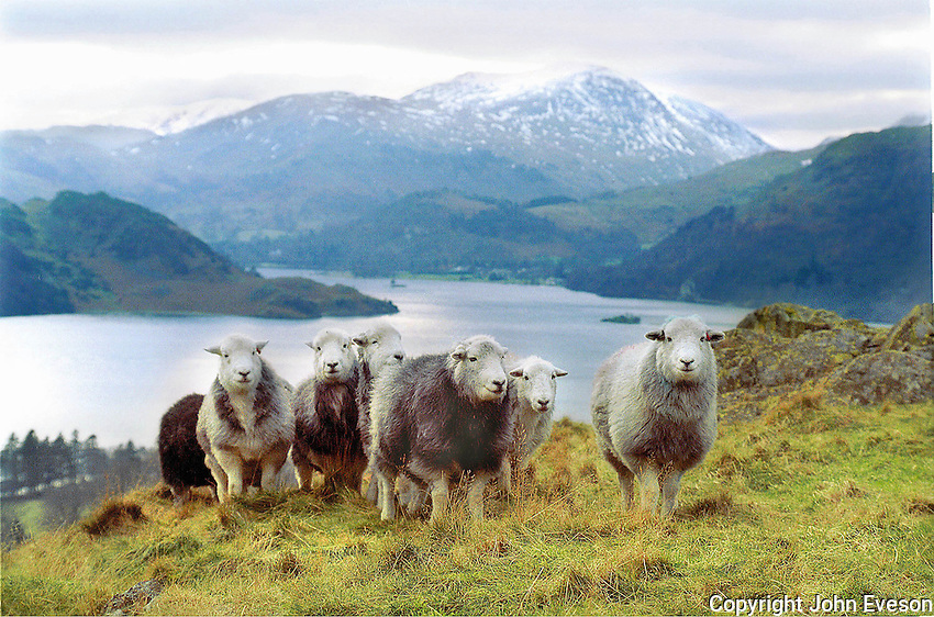 Herdwick sheep overlooking Ullswater, Cumbria.