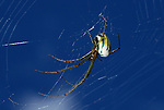 Orchard Orb Weaver Spider, Leucauge sp. Sabah Borneo.Borneo....