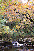 A delicate canopy of autumn leaves shades the West Beck, near Goathland, the North Yorkshire Moors, England.