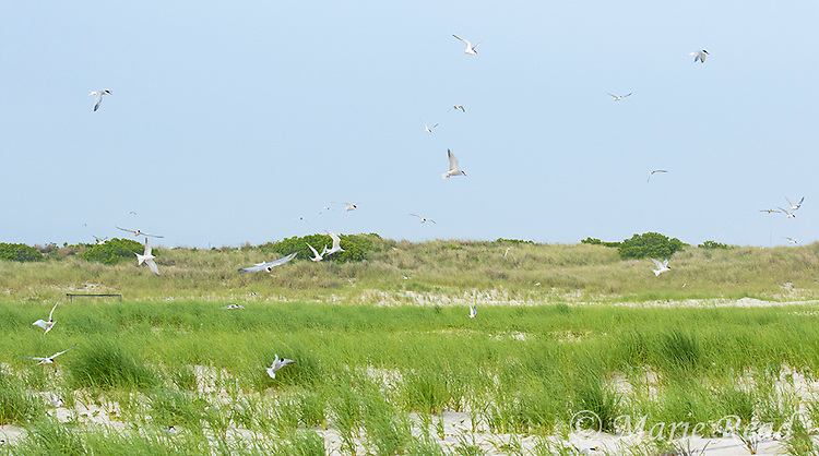 Common Terns (Sterna hirundo) in flight over their nesting colony among sand dunes and beach vegetation, Nickerson Beach, Long Island, New York, USA