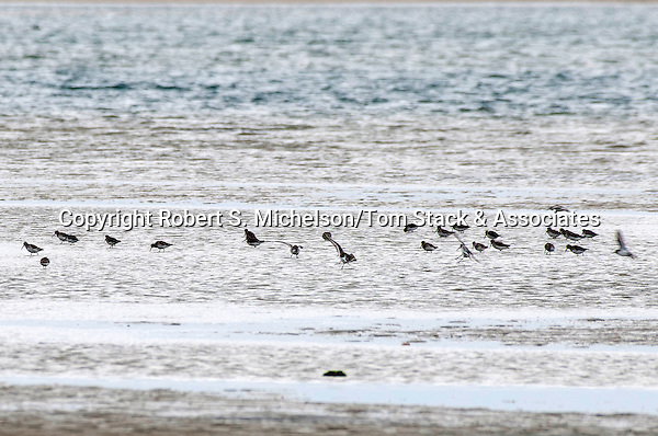 Flock of Sanderlings feeding on sand flat, South Beach, Chatham, Massachusetts