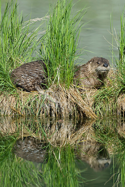 River Otter (Lontra canadensis) reflecting in lake.  Western U.S., June.