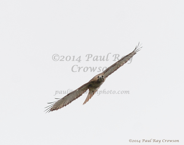 Red-tailed Hawk (pale)