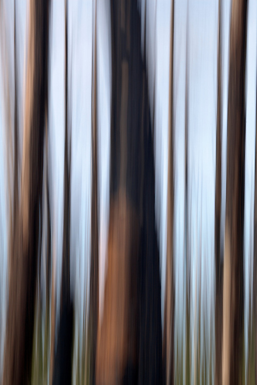Abstract view of a regenerating burned forest in the Kaibab National Forest, Arizona