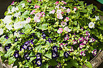 TORENIA 'KAUAI MIX', WISHBONE FLOWER
