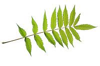Essigbaum, Essig-Baum, Kolbensumach, Kolben-Sumach, Rhus typhina, Rhus hirta, Stag´s Horn Sumach, Le sumac vinaigrier, sumac amaranthe, vinaigrier. Blatt, Blätter, leaf, leaves