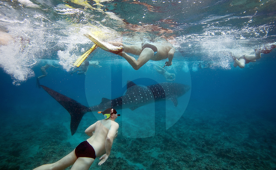 December 3rd, 2008_MALDIVES_ A Whale Shark is mobbed by swimmers, as it looks for deeper waters in an area of the Maldives.  The Maldives, which is the world's lowest nation in altitude is rich with marine life and great diving.  Photographer: Daniel J. Groshong/Tayo Photo Group