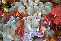 Pair of Oran Utan Crab in Bubble Corals, Achaeus japonicus, Raja Ampat, West Papua, Indonesia