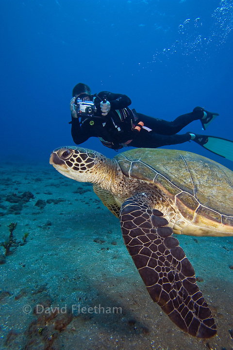Diver (MR) photographing a green sea turtle, Chelonia mydas.  Hawaii.