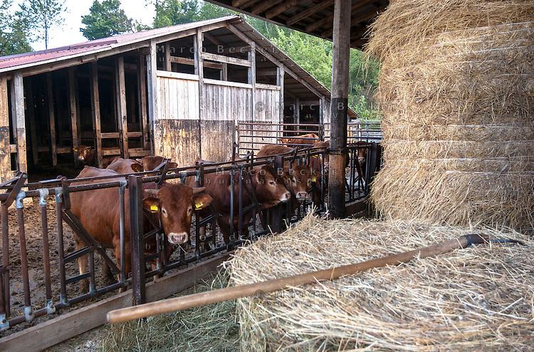 Pozzallo frazione di Romagnese (Pavia). Cooperativa Agricola Canedo: allevamento semibrado di bovini da carne. Mucche alle stalle e fieno --- Pozzallo Romagnese (Pavia). Canedo Agricultural Cooperative: semi-wild breeding of beef cattle. Cows at the stable and hay