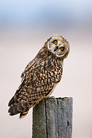 Adult Short-eared Owl (Asio flammeus) on fence post. Ontario, Canada. December.