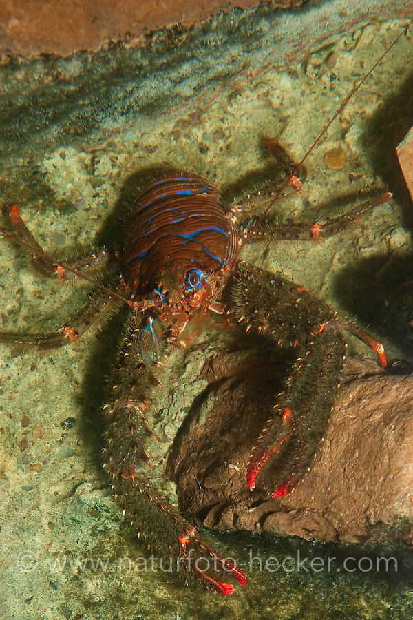 Bunter Furchenkrebs, Blaustreifen-Springkrebs, Blaugestreifter Springkrebs, Bunter Springkrebs, Galathea strigosa, strigose squat lobster