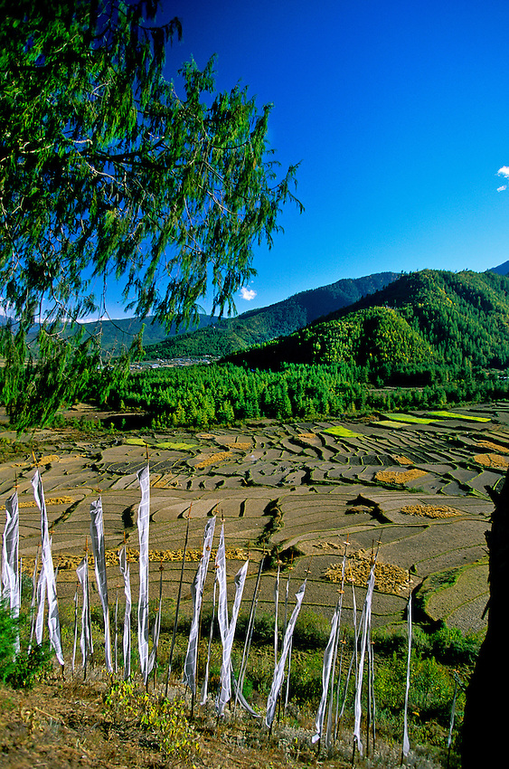 Rice terraces near the Drukgyel Dzong, Paro Valley, Bhutan