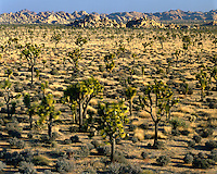 Evening light on a field of Joshua Trees; Joshua Tree National Park, CA